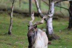 Markhor male goat Royalty Free Stock Images