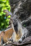 Markhor male 5. Markhor male at rest on the rock. Latin name - Capra falconeri royalty free stock image