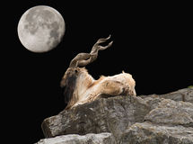 Markhor and moon. At night royalty free stock photography