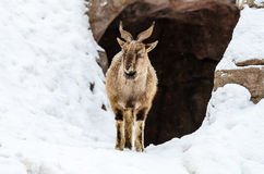 Markhor Royalty Free Stock Images