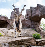Markhor in Moscow zoo Royalty Free Stock Image