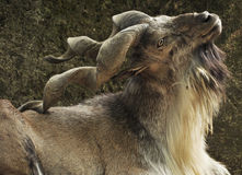 Markhor Stock Photo