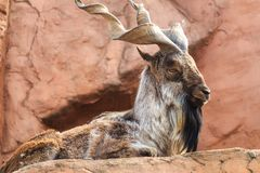 Markhor resting on a rock Royalty Free Stock Photo