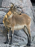 Markhor 9 Royalty Free Stock Images