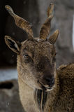 Markhor. A Markhor in the zoo Royalty Free Stock Images
