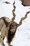 Markhor. A markhor in the Zoo Royalty Free Stock Photo