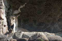 Markhor at the zoo Stock Photo