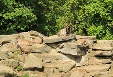 Markhors - wilde geiten Royalty-vrije Stock Afbeelding