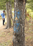 Markierter Baum des Bergkiefernkäfers stockbild