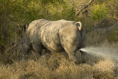 Marking rhino Royalty Free Stock Images