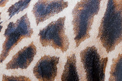 Markings of a giraffe Royalty Free Stock Images