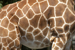 Markings of the rothchilds giraffe. In twycross zoo leicestershire, england uk taken in july 2006 Stock Photos