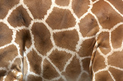 Markings of the rothchilds giraffe Stock Photos