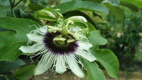 Markisa-Blume Stockbilder