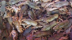 Marknad för Live Red Crayfish On The räknarefisk stock video