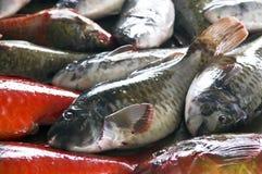 marknadsparrotfish Royaltyfri Fotografi