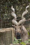 Markor vilar i en zoo arkivbild
