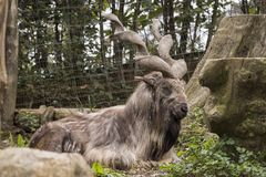 Markor vilar i en zoo arkivfoto
