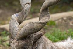 Markor vilar i en zoo arkivfoton