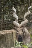Markor vilar i en zoo arkivbilder