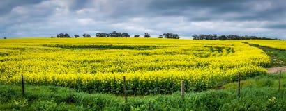 Markotna Panoramiczna scena złoty Canola pole z dramatycznym niebem obrazy stock