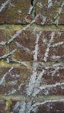 Marks of climbing vine plant. Close view of dried marks of climbing vine plant in brick wall Stock Image