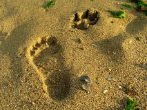 Marks on the sand. Marks left on the sand by a person and a dog Stock Images