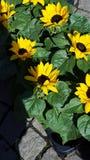Markt-Sonnenblume stockfotos