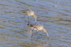 Marlbed Godwits feeding on the winter California coast. Stock Photos