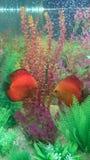 marlboro red discus pair Stock Photo