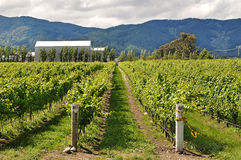 Marlborough的葡萄园 免版税库存图片
