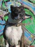 Marley Staffordshire bull terrier 1 Fotos de archivo