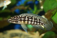 Marlieri de Julidochromis Imagen de archivo