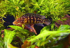 marlieri julidochromis Στοκ Εικόνες