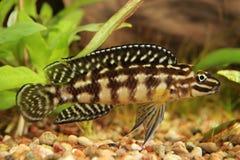 marlieri julidochromis Στοκ φωτογραφία με δικαίωμα ελεύθερης χρήσης