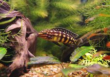 marlieri julidochromis Στοκ Εικόνα
