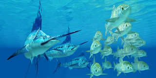 Marlin attack Ayu Fish. A school of ocean Ayu fish try to escape from three carnivorous Blue Marlin fish Royalty Free Stock Images