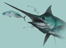 Marlin bleu chassant des bonites Image stock