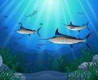 Marlin Fish Swimming Under Water bleu Image libre de droits