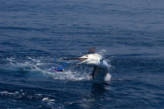 Marlin Jumping Photo libre de droits