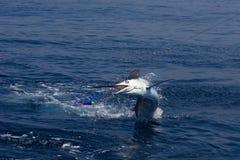 Marlin Jumping