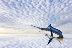 Marlin - pesce di mare del pesce vela del Pacifico, del pesce spada & x28; Istiophorus& x29; isolato immagini stock