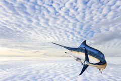 Marlin - poisson de mer d'espadons, de pélerin et x28 ; Istiophorus& x29 ; isolat Images stock