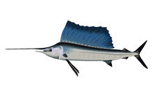 Marlin  and sport fishing. Marlin and sport fishing in the ocean Stock Image