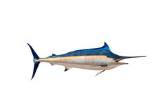Marlin - Swordfish,Sailfish saltwater fish (Istiophorus) isolate. D on white background Royalty Free Stock Photography