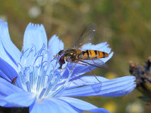 Marmalade fly on blue bloom. Marmalade fly on bloom of chicory Royalty Free Stock Photography