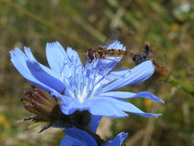 Marmalade fly on chicory bloom. Little marmalade fly on blue chicory bloom Royalty Free Stock Images
