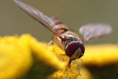 Marmalade hoverfly. Episyrphus balteatus, sometimes called the marmalade hoverfly, is a relatively small hoverfly (9–12 mm) of the Syrphidae family, widespread Stock Photos