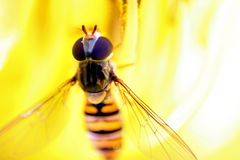 Marmalade hoverfly Royalty Free Stock Photography