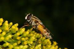 Marmalade hoverfly (Episyrphus balteatus) Royalty Free Stock Photos
